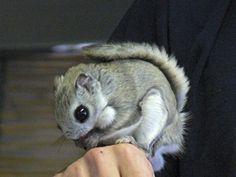 円山動物園で公開されたエゾモモンガ(2007年2月25日)