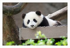 Smiling Mr. Wu | Xiao Liwu smiles as he slowly wakes up from… | Flickr