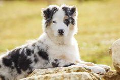 Top 10 des chiens de bergers les plus appréciés.