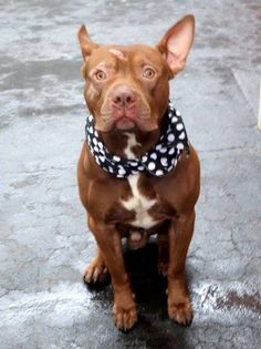 TO BE DESTROYEED - 12/07/14 Manhattan Center My name is CARSON. My Animal ID # is A1021412. I am a male brown and white pit bull mix. The shelter thinks I am about 3 YEARS old. I came in the shelter as a STRAY on 11/22/2014 from NY 10458, owner surrender reason stated was STRAY.