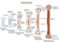 bones growth zone - Recherche Google
