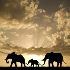 Elephant caravan.