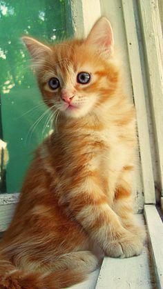 orange tabbies make me smile! - different coloring than my Dodi, but I just love all little orangies. So much personality.