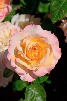 MEILLAND International   Rosiers de Jardin   Grandes fleurs