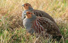 Grey Partridge, Beautiful Birds, Animals Beautiful, Cute Animals, Exotic Birds, Colorful Birds, Game Birds, All Nature, Game