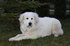 Klikněte k uzavření Mountain Dogs, Labrador Retriever, Animals, Bohemia, Pictures, Labrador Retrievers, Animales, Animaux, Animal