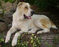 TAKAS Anatolian Shepherd Dogs & VOLKODAV Central Asia Shepherd Dogs