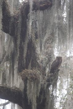 Superb Nature, noizzex:   Great-horned Owl and Spanish Moss |...