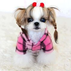 OMG...this is the cutest shih tzu!!! look at those Precious Moments eyes...!  aaaaawwww....!!!! love it!!!
