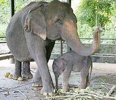Foto de elefantes asiáticos