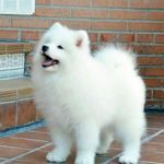 adorable cute puppies, lovely dogs! - Page 31 of 51 - SooPush - adorable cute puppies, lovely dogs! – Page 31 of 51 – SooPush cute puppies, adorable dogs, lovely animals. Samoyed Dogs, Pet Dogs, Pets, Doggies, Pomeranian Breed, White Pomeranian, Pomsky, Cute Baby Dogs, Cute Dogs And Puppies