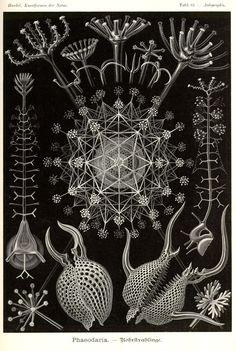Ernst Haeckel | Artribune