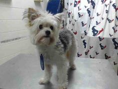 This DOG - ID#A468209 - URGENT - Harris County Animal Shelter in Houston, Texas - ADOPT OR FOSTER - Female Miniature Poodle - at the shelter since Sep 14, 2016.
