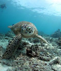 Sea Turtle - Aquatic-Life