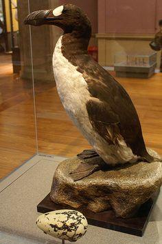 Le Grand Pingouin disparu depuis 1844 (Islande Canada Irlande Angleterre)