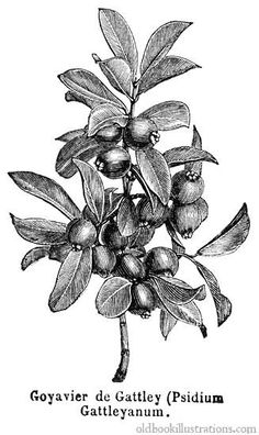 vintage botanical drawing,Strawberry guava