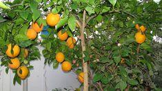 Как подкармливать комнатный лимон, апельсин. Какие удобрения подходят для лимона и апельсина, Надо ли опылять лимон при цветении. Сколько времени зреют плоды. Farm Gardens, Silk Flowers, Fruit, Vegetables, Plants, Youtube, Roses, Indoor House Plants, Lawn And Garden