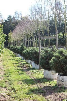 The small pines in this image are what I'm thinking of using to the front of the evergreen woodland garden..https://www.barcham.co.uk/products/pinus-mugo-mops
