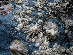 Barnacles (Chthamalus stellatus) and Limpets (Patella vulgata) in the intertidal near Newquay, Cornwall, England.