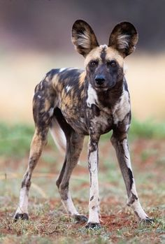 African Wild Dog by © Gerry Van der Walt Madikwe Game Reserve - South Africa