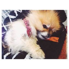 Man Fridays are so rough.... #pompom #pomeranians #pomsofinstagram #dogs #dogdaily #dogsofinstagram #pomeraniansofinstagram #pets #petsofinstagram #pomsdaily #cutedogs #cutedogsdaily #pomeranianlovers #cutestpuppies #smalldogs #walterthepom #dogdaily Photo By: walter_all_the_time http://bit.ly/teacupdogshq
