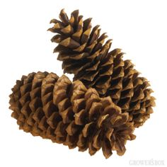 When looking for holiday decorations, many consider Christmas Greens and red and white flowers. Pine Cones are another popular holiday decoration which can be used year after year. Check out our HUGE Sugar Pine Cones which are sure to capture everyone's attention! Visit GrowersBox.com for more information!