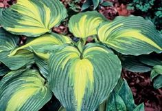 """Hosta 'Hollywood Lights' Hight 23"""" Spread 43"""" Part-full shade. Sport of H. 'On Stage'. Displays much wider, dark green, jetting margins and a bright yellow center that becomes chartreuse in summer  •Large, dome-shaped, arching leaves form a sizeable mound"""