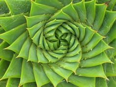 theforbiddencolors:    Fibonacci Sequence in nature - succulent  by Inner Bliss Designs