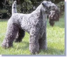 Medium-sized hypoallergenic dogs are becoming more popular these days among pet lovers. This list of medium-sized hypoallergenic dogs will . Big Dogs, I Love Dogs, Dogs And Puppies, Doggies, Giant Dogs, Chat A Donner, Terrier Dog Breeds, Purebred Dogs, Medium Sized Dogs