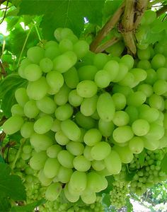 green seedless grapes--My #1 Favorite but love ALL grapes!