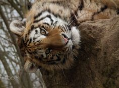 Just Hanging Around - A beautiful Amur Tiger just hanging around, upside down