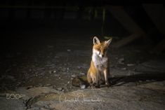 Online Shipping, Facebook, Order Prints, Fox, Instagram, Nature, Animals, Image, Photography