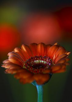 ~~Gerbera at Night by Spice ♥~~