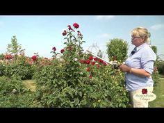 Richtiger Rosenschnitt im Sommer - YouTube Youtube, Plants, Right Guy, Balcony, Decorating Ideas, Summer, Flowers, Garten, Flora