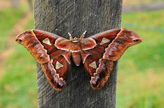 Rotschild's Silk Moth (Rothschildia erycina) taken by Jeffrey Dietrich in the Mount Totumas Cloud Forest'.