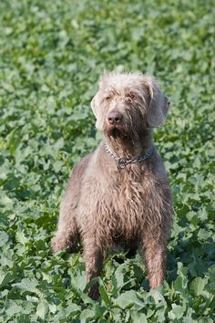 Slovakian Rough-haired Pointer / Slovak Wirehaired / Slovenský hrubosrstý Stavač #Dogs
