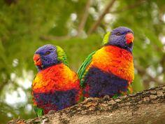 Rainbow Lorikeets ♥