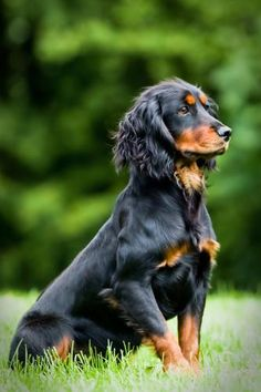 Black and Tan Working Cocker Spaniel from Sugarsmack Gundogs as seen on www.gundogbreeders.co.uk