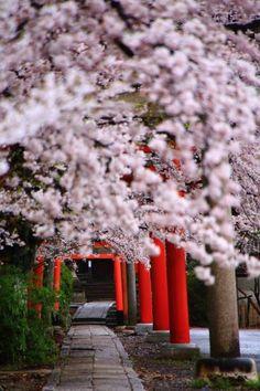 満開の桜につつまれた京都竹中稲荷神社の鳥居と参道