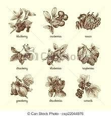 Botanical / Illustration Cranberries - Google-Suche