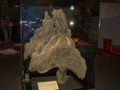 Moulage du bassin d'un Supersaurus vivianae. Musée de la vie antique. Auteur : Ninjatacoshell. 2009