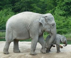 Asian elephant mother and child Elephant Facts, Elephant Images, Elephant Pictures, Baby Animals Pictures, Asian Elephant, Elephant Love, Cute Baby Animals, Funny Animals, Elephants Photos