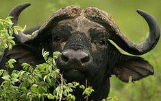 Cape Buffalo, African Big 5 | Wildlife Safaris in Namibia