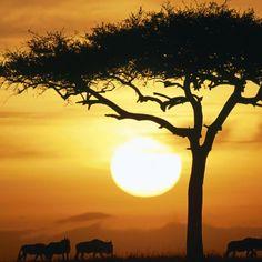 Búfalos 2048x2048 Papel de Parede, Declínio, sol, árvore, esboços, savanna