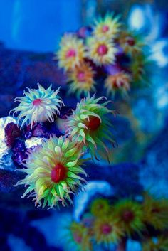 Coral flowers.                  http://www.reef2reef.com/forums/reef-aquarium-discussion/186970-my-non-photosynthetic-elos.html#post2152107