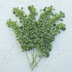 Bells of Ireland. A cutting garden staple and one of the finest annual foliage plants you can grow for mixed bouquets. Plants are heavily branched, producing a bumper crop of tall, lime green spires adorned with bell shaped blooms.  Seeds available in the Floret Shop.