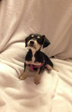Angela Chihuahua & Poodle Mix • Baby • Female • Small Forgotten Friends Texas Rescue RGV Mission, TX
