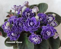 Зимняя Роза Огромные синие розы (как у Литуаники) с белой каймой.Тёмно-зел листва.