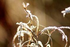 Kuurainen kukka