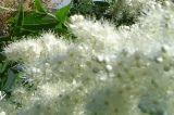 Sorbaria sorbifolia Ural False Spirea